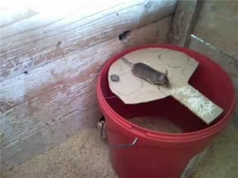 catch rat (3)