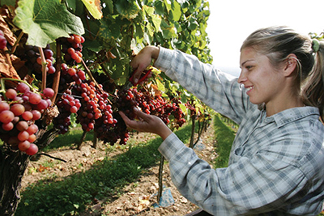BINGEN, GERMANY - OCTOBER 09: Field worker Anna uses a knife to pick gewuerztramine grapes during a harvest in a vineyard at Rochus mountain on October 9, 2007 in Bingen at Rhine, Germany. A winegrower said that this harvest will be a good class of yield and quality. (Photo by Andreas Rentz/Getty Images)